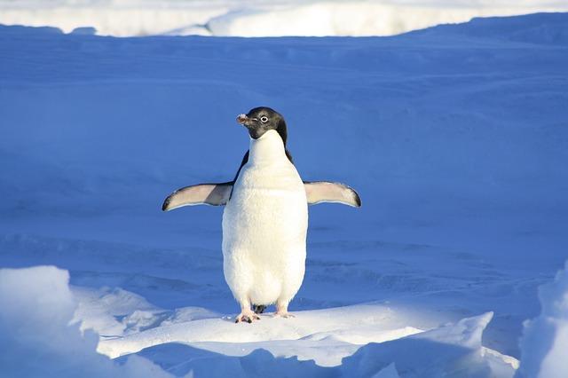 On ne dit pas une pinguinade, mais un pingouin prend une baignade!
